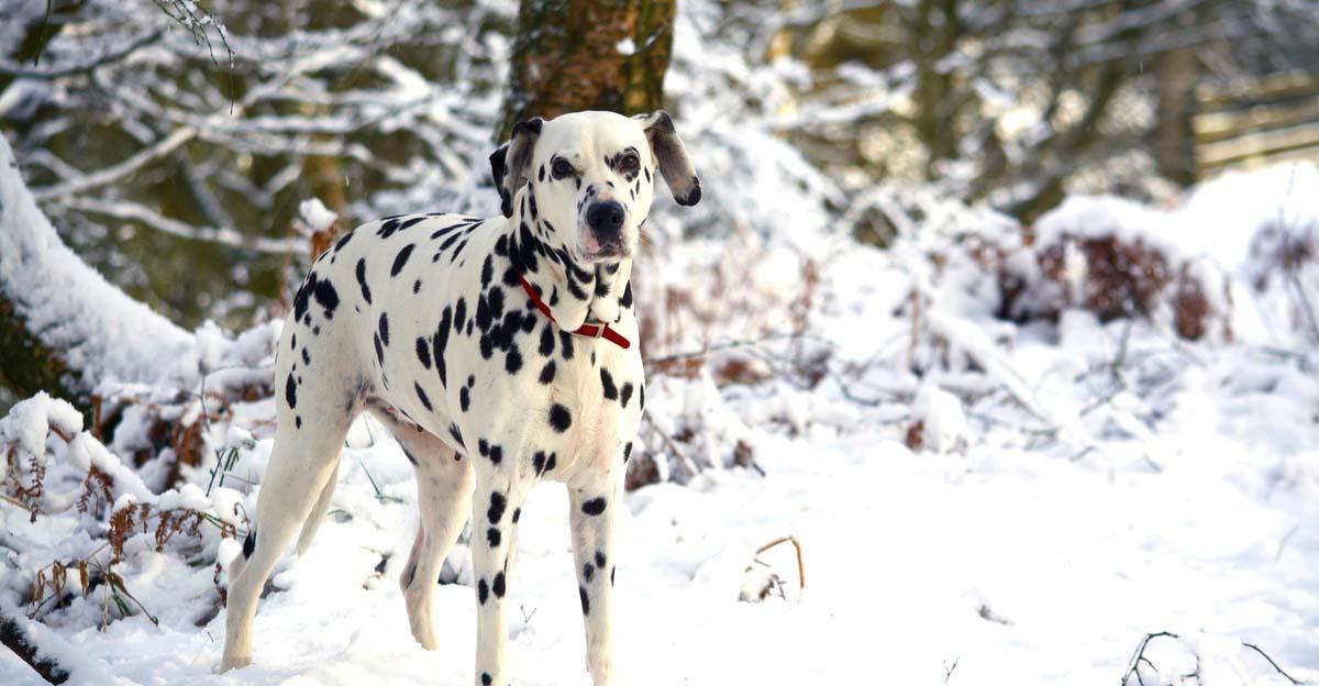 dalmatian in snow