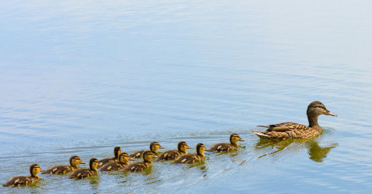 56 ducklings in a row
