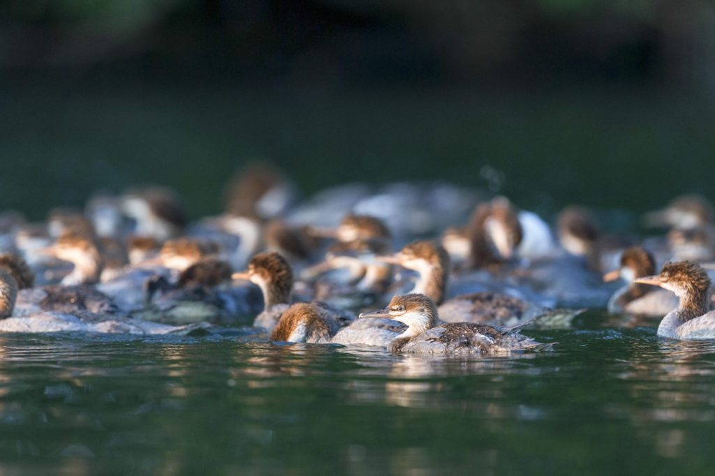 mother duck with 56 ducklings on a lake