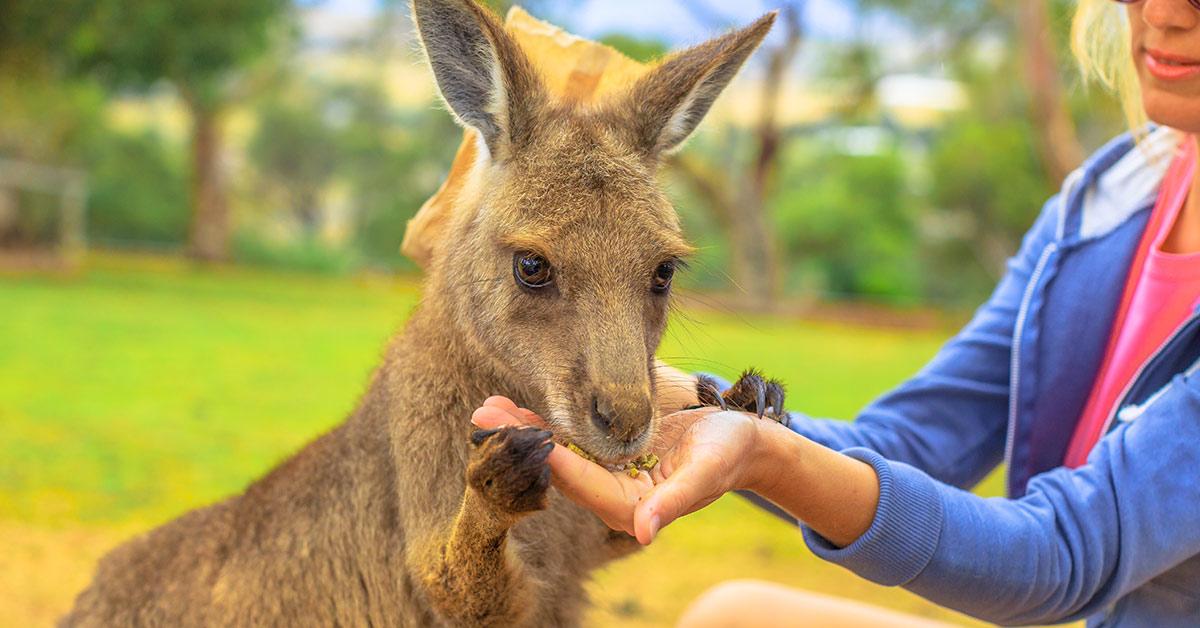 Kangaroo being fed