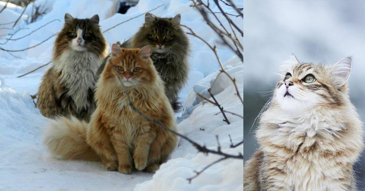 norwegian forest cats