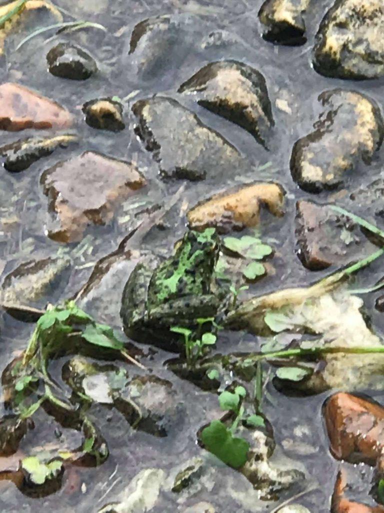 close up. Frog hidden amongst wet rocks