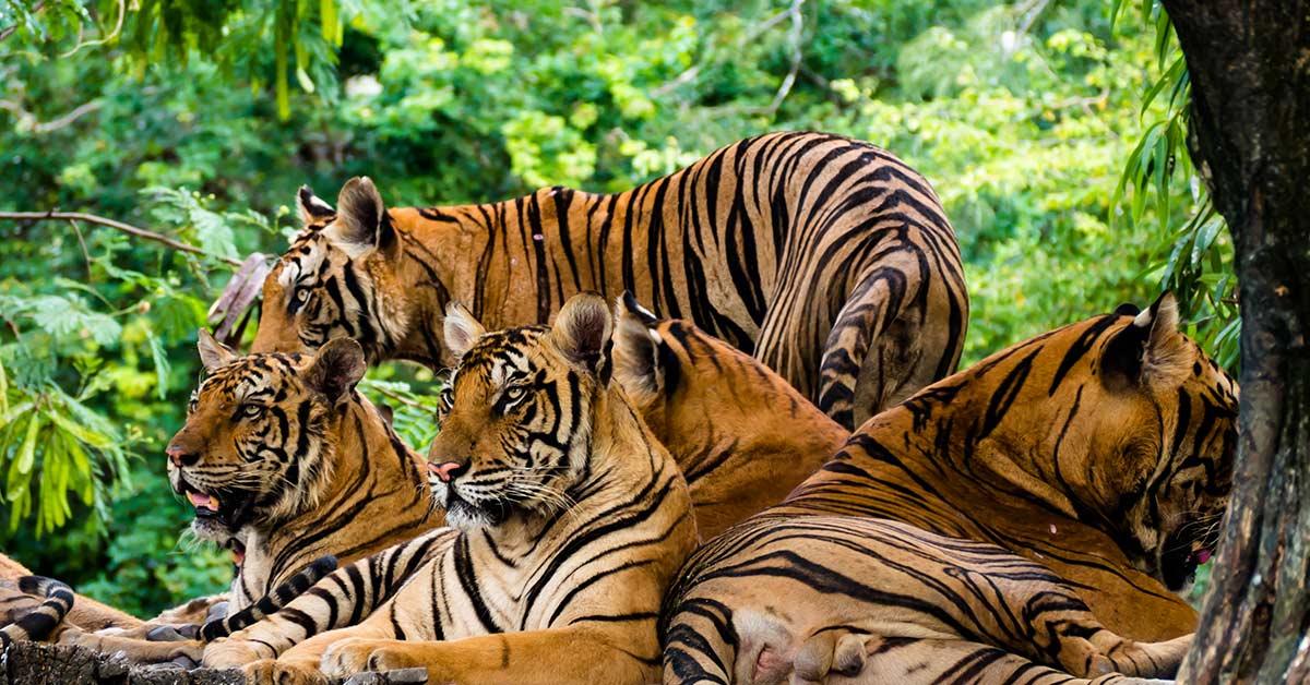 3 tigers