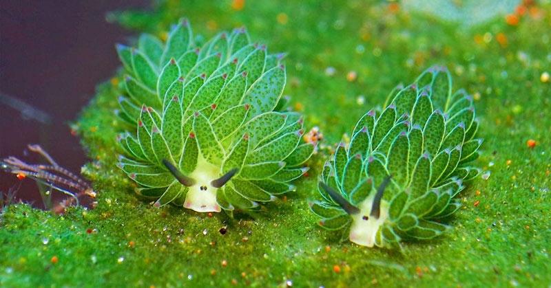 leaf sheep sea slugs