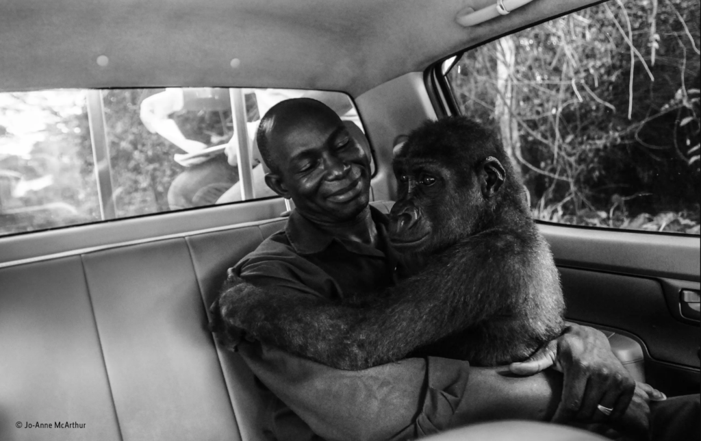 Gorilla embraces man who saved her