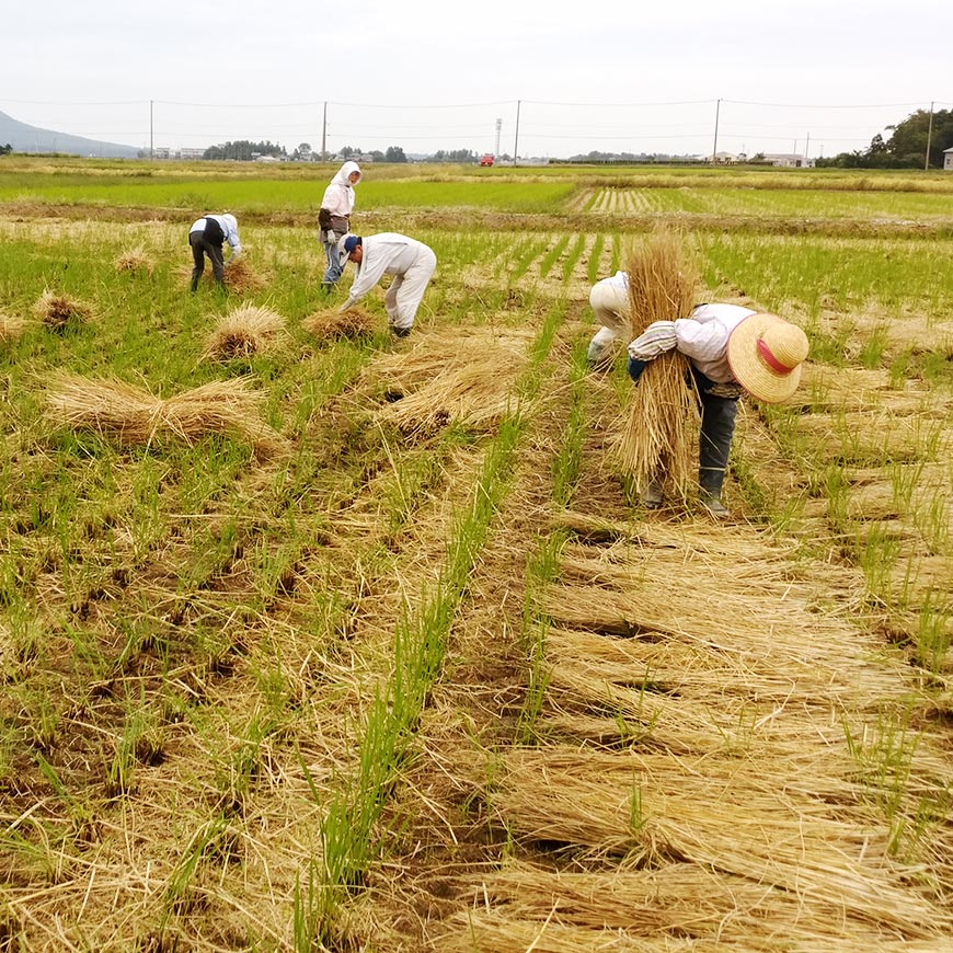 people of Niigata working in a rice field