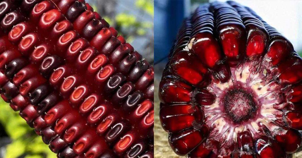 Jimmy red corn
