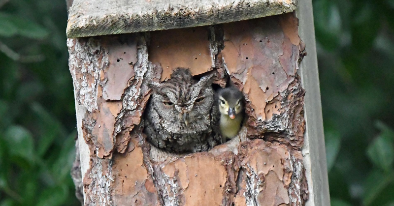 owl with duckling